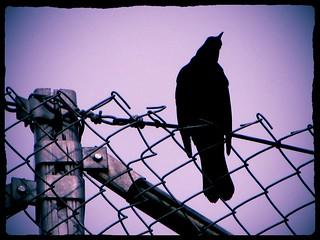 tumman linnun profiili