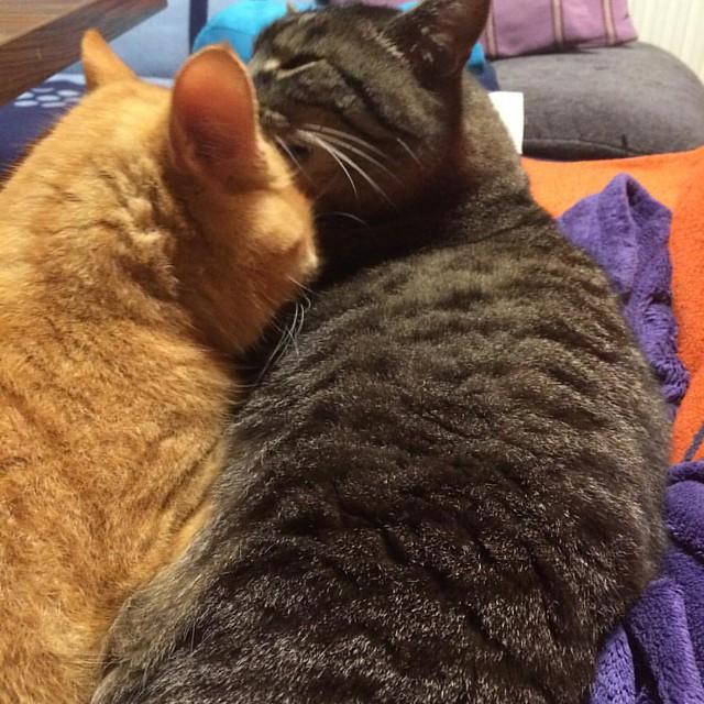 wird nix mit Ruhe, Garfield ist liebesbedürftig #garfield #gatto #cat #instacat #catstagram #catsoftheday #catsofinstagram #catlover