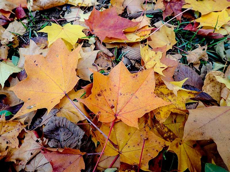円山原始林の落葉