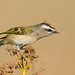 Ready to go - Golden-crowned Kinglet by Best Practices