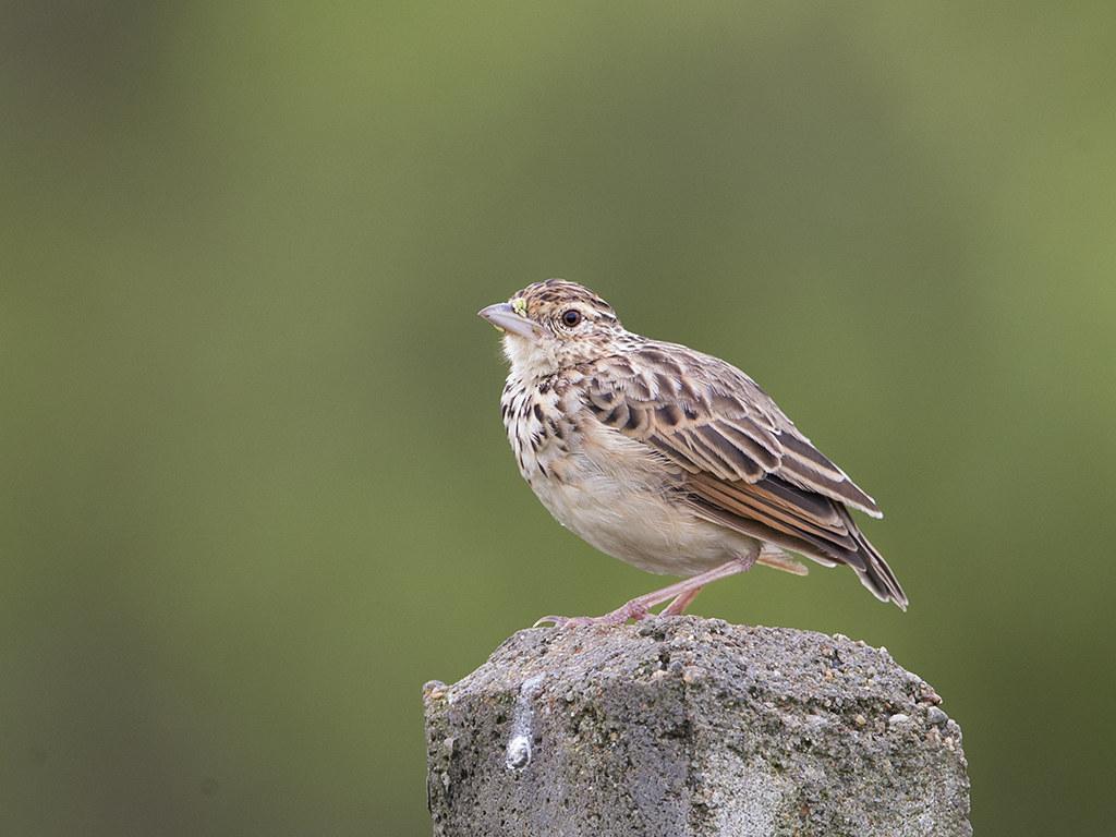 Jerdon's Bushlark  Sri Lanka