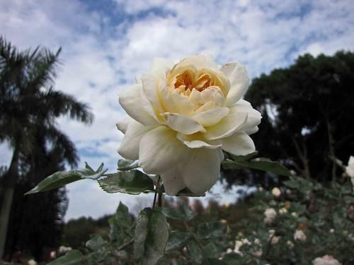 Roos 'Crocus Rose'