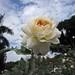 Foto: Roos 'Crocus Rose'