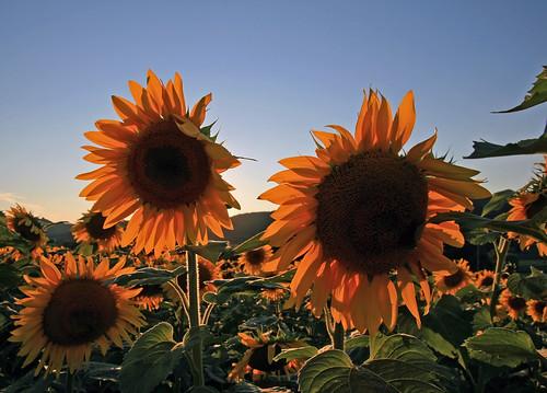 sunflowers landscape macro