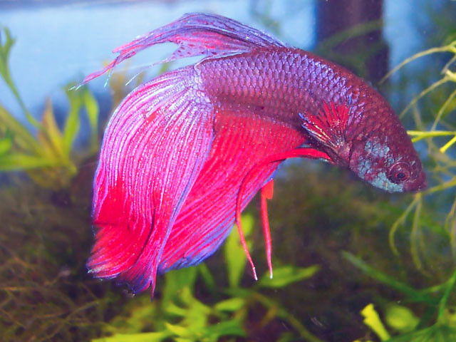 Tafkas he came here named sid with a swim bladder that for Betta fish swim bladder