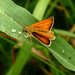 Essex Skipper - Photo (c) Leif, some rights reserved (CC BY-NC-ND)