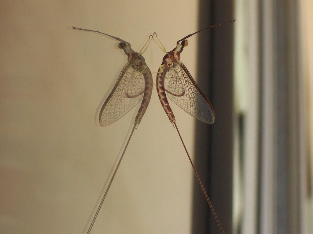 Ephemeroptera a photo on flickriver - Piccoli insetti sui muri di casa ...