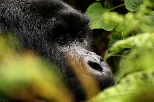 gorilla rwanda endangered ybp animalkingdomelite
