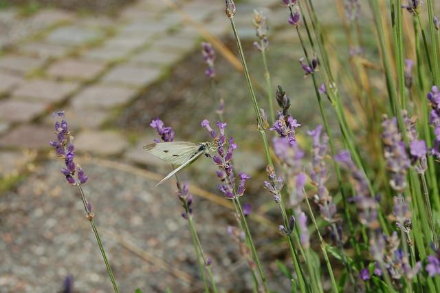 Lavendel luktar gott