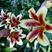 Lilium Touching group