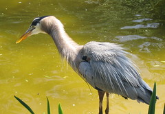 animal(1.0), water bird(1.0), yellow(1.0), wing(1.0), fauna(1.0), little blue heron(1.0), heron(1.0), beak(1.0), crane-like bird(1.0), bird(1.0), wildlife(1.0),