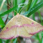 7146 Chickweed Geometer Moth, Haematopis grataria