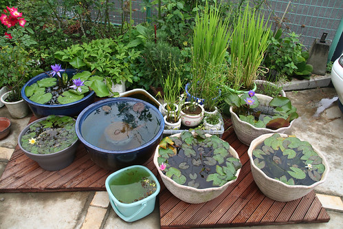 Water lilies gardening forums for Pond in a pot with fish