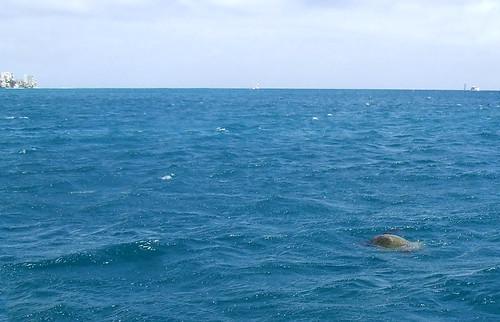 See Sea Turtle