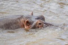 Hippopotamus / Masai Mara / Kenya