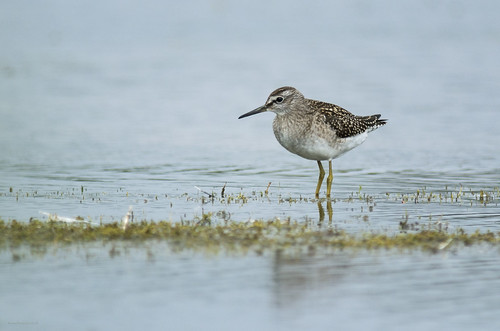 Wood Sandpiper, Broom GP, 23rd August 2015