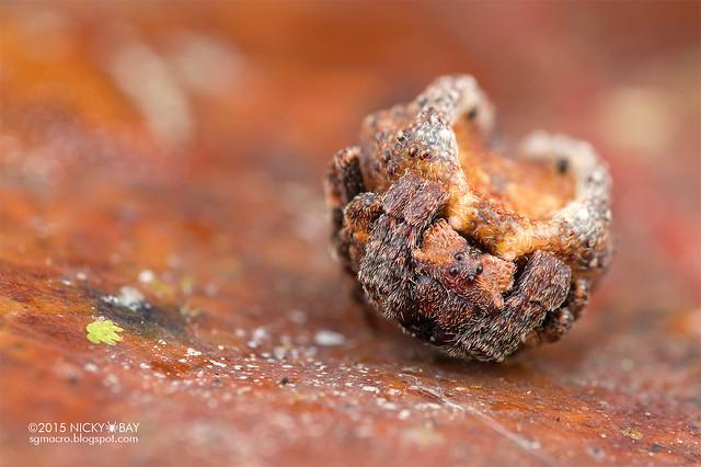 Roly poly orb weaver (Xylethrus scrupeus) - DSC_3970