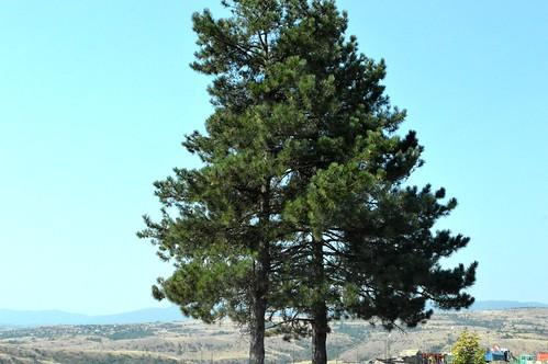 panorama tree pine town nice dorf village view augusztus bulgarie 2015 város bulgarien nyár falu fekete szép българия kilátás fenyő bulgária fenyőfa kocherinovo feketefenyő кочериново