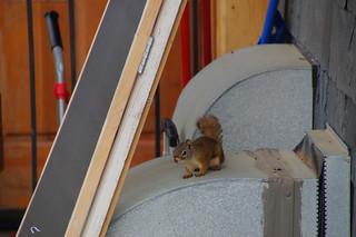 162 Amerikaanse rode eekhoorn