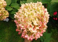 blossom(0.0), shrub(1.0), flower(1.0), hydrangea serrata(1.0), plant(1.0), flora(1.0), petal(1.0),