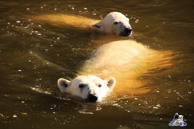 Eisbär Fiete im Zoo Rostock 26.09.2015   0238