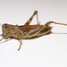Differential Grasshopper - Photo (c) Brian Gratwicke, some rights reserved (CC BY)