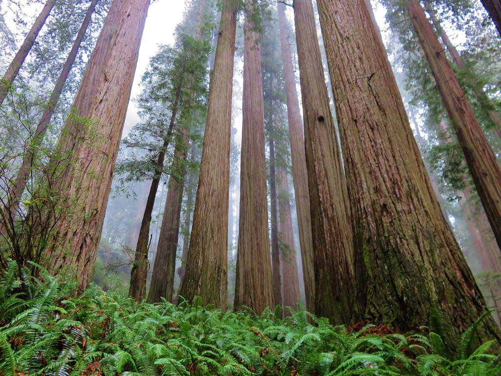 Redwoods along the Boy Scout Tree Trail