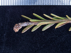 Podocarpus lawrencei