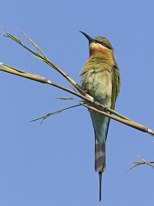 Blue-tailed Bee-eater   Sri Lanka
