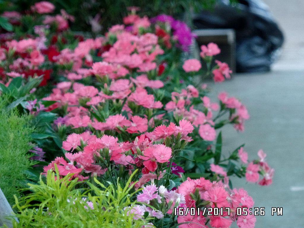Duong hoa sa nhien lang hoa sa dec tet 2017 (18)