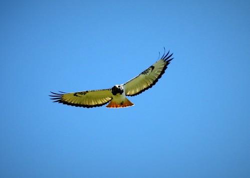 augur buzzard buteo bird kenya njoro