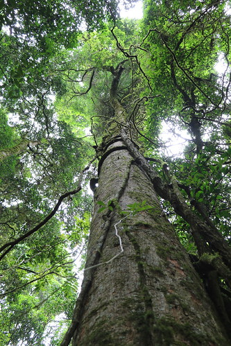 blushwalnut beilschmiediaobtusifolia beilschmiedia lauraceae tree gianttree recordtree arfp nswrfp qrfp tooloomnationalpark tooloomscrub subtropicalarf subtropicalrainforest urbenville nsw worldheritagesite forest rainforest