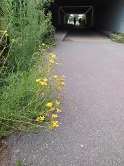 Fleur de tunel