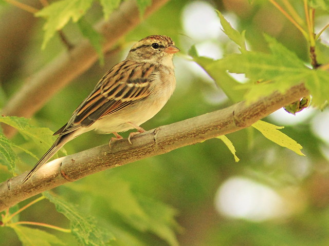 Chipping Sparrow 2-20150831