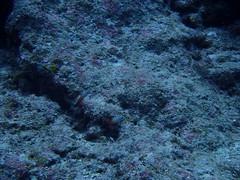 Firefish (Nemateleotris magnifica)