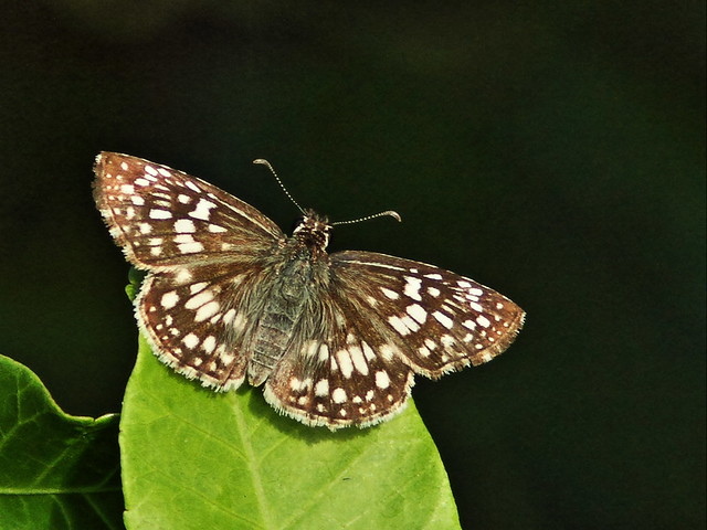 Tropical Checkered-Skipper 20151006