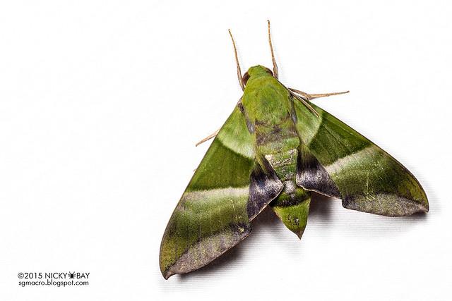 Hawk moth (Sphingidae) - DSC_8856
