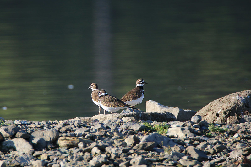 IMG_2819Killdeer