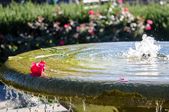 Flower in the Fountain