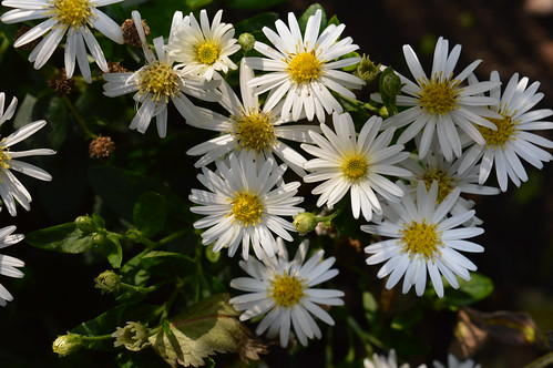 ASTER trifoliatus ssp. ageratoides 'Starshine'