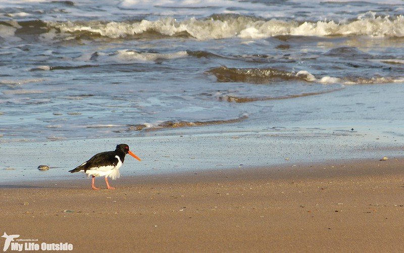 P1160226 - Oystercatcher, North Berwick