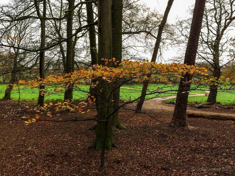Beech sapling in the Woodland Walk