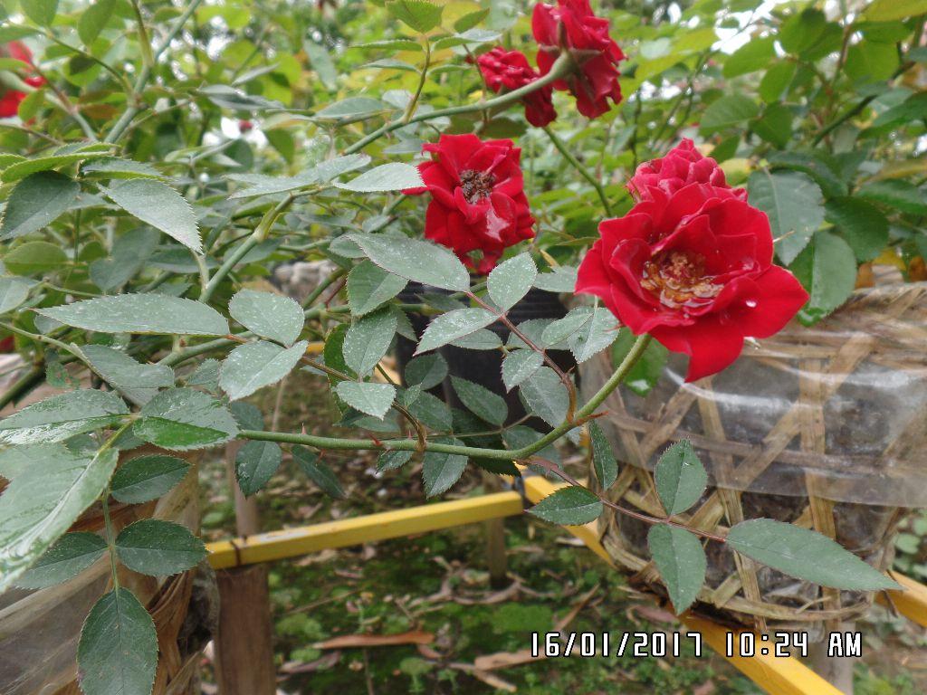 Hồng tiểu muội Sa Đéc thường mọc lá chét 5