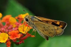 Dallas - Fiery Skipper