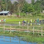Sat, 01/21/2017 - 08:34 - Making planting rice artistic