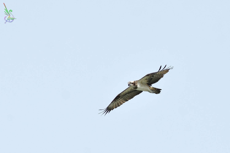 Osprey_2239