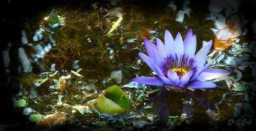 bluewaterlily waterlily flower water pond blue purple periwinkle botanical floral petals leaves reflection waterlilyatmckeebotanicalgardens