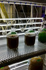 4 litre phytoplankton cultures