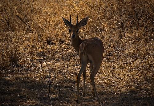An antelope posing for us ...