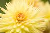 Halifax Flower by josullivan.59